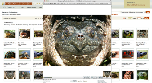 Rob Stevenson  | Snapping Turtle Upclose View of Face |2004 | UMASS Boston;  Field Guide of Biodiversity Images |Photographic credit: Susan Speak