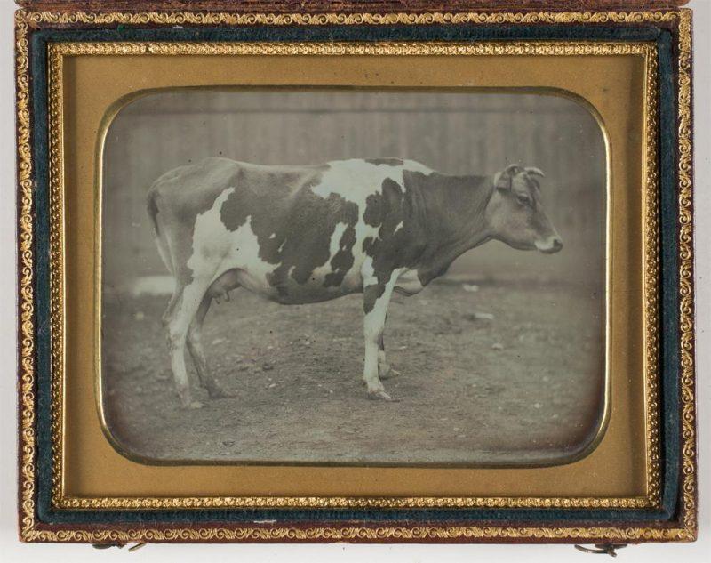 Cow, daguerreotype, 19th century