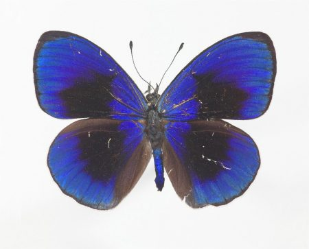 Asterope sapphira (nymphalid butterfly)
